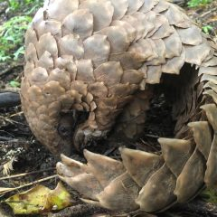 Being eaten to extinction: 20 pangolin facts for WPD 2020