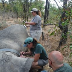 FURTHER TREATMENT FOR DE-SNARED ELEPHANT