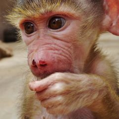 NEW ARRIVAL: BABY BABOON