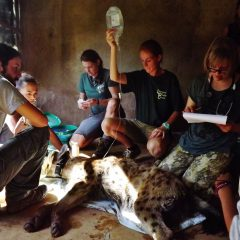 HYAENA RELOCATION: GOODBYE CITY!
