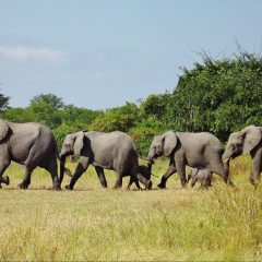 2015 ELEPHANT CENSUS SHOWS WORRYING DECLINE