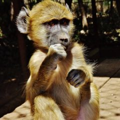 HANDSOME NEW BABOON