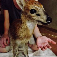 YOUNG DUIKER'S TWIST OF FATE
