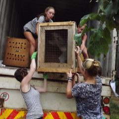 VERVET MONKEYS ON THEIR WAY TO FREEDOM