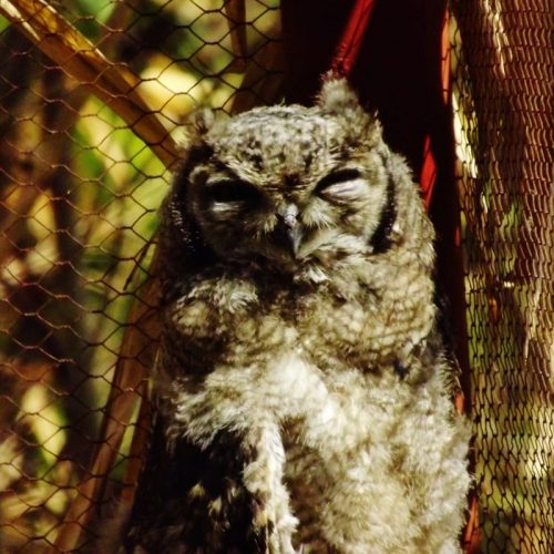 Spotty, our owl being rehabilitated