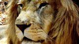 The majestic Simba