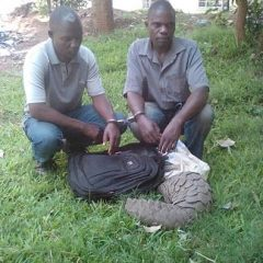 FIRST CONVICTIONS FOR PANGOLIN TRAFFICKING IN MALAWI