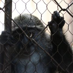 WILDLIFE RESCUE UPDATE: INDIGO THE BLUE MONKEY