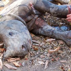 RHINO CALF SNARE INJURY TREATED