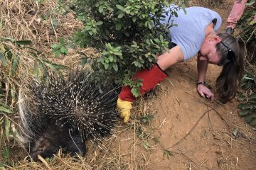 The incredible story of Petunia the porcupine
