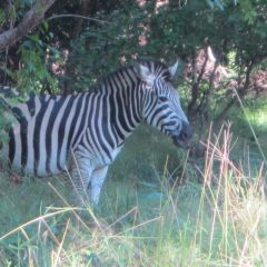 ZEBRA GETS SNARE REMOVED THANKS TO OUR WILDLIFE VET
