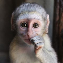 30 MONTHS IN PRISON FOR MONKEY POACHING
