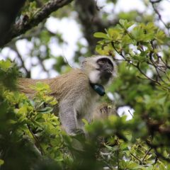 PRIMATE RELEASE UPDATE: Into The Wild…