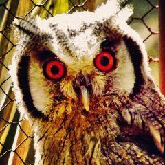 LUCKY LITTLE OWL