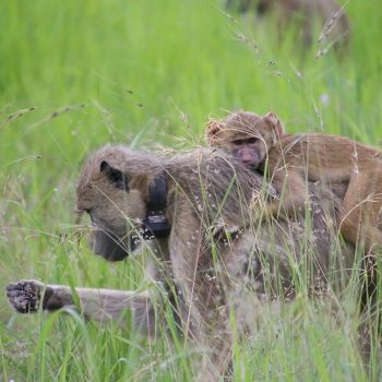 collared yellow baboons