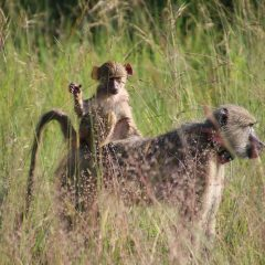 CLOSE SHAVE FOR RELEASED BABOONS