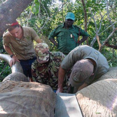 LWT and DNPW collaring an elephant - WERU - wildlife - 2020