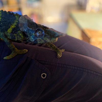 LWT chameleon eye injury