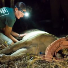 COLLARING A LIONESS