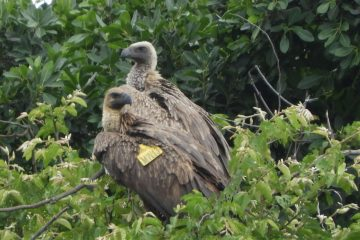 FROM NYIKA TO LUSAKA: TAGGED VULTURE SIGHTED 780KM AWAY