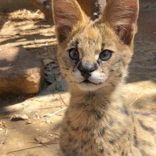 Mtendere_wildlife_serval_LWC