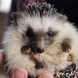 Nugget hedgehog - injured by wild dogs - released early 2020