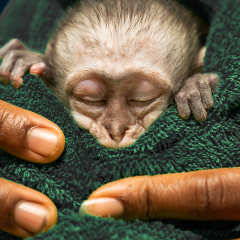ORPHAN CARE 101 – GETTING BABY PRIMATES BACK TO THE WILD