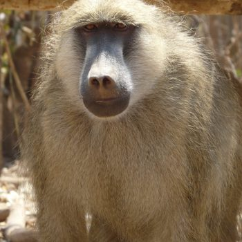 One of our olive baboons