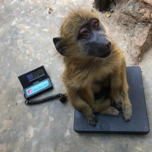 Pretzel_ex pet _baboon_Wildlife_LWC