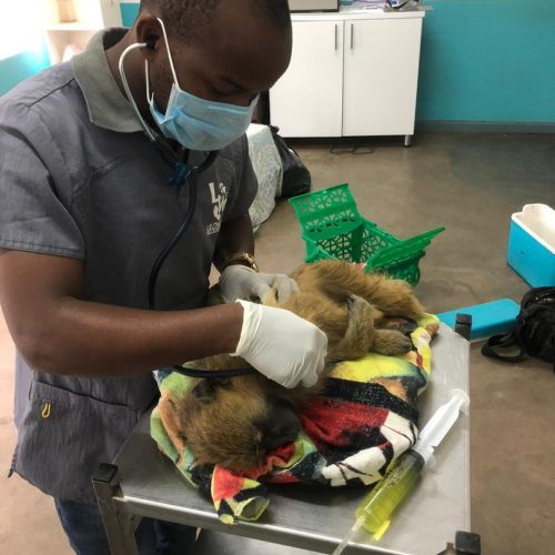 Pretzel_ex pet_baboon_healthcheck with vet Dr Laston_wildlife_LWC