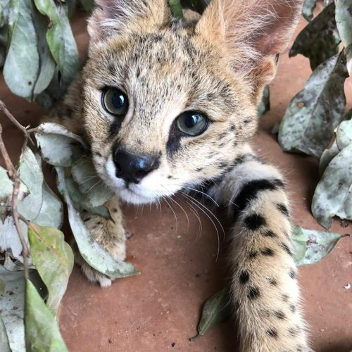 Pucho 5 months old_serval_wildlife_LWC