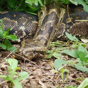 Python Henry