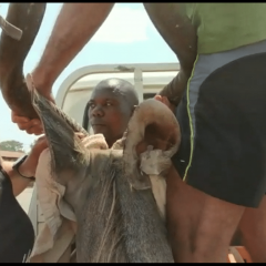 DRAMATIC KUDU RESCUE IN SALIMA