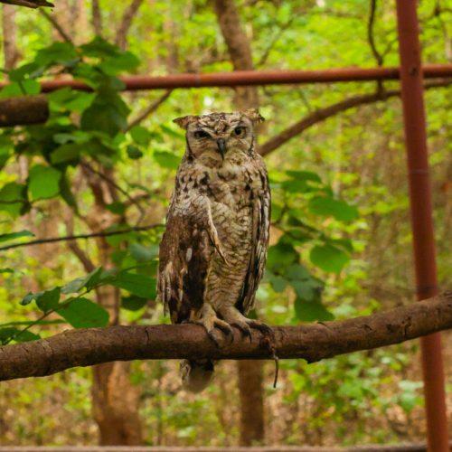 Spotty - owl with broken collar bone