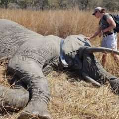 ELEPHANT COLLARING: A VET'S EYE VIEW