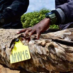 LWT & PARTNERS LAUNCH 'CONSERVING MALAWI'S VULTURES' RESEARCH PROJECT