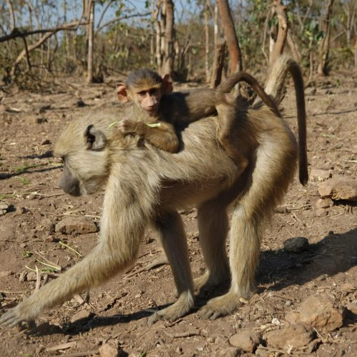 Yellow baboon baby on mother's back_LWC_sanctuary