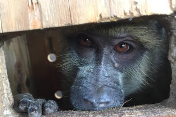 TWO BABOONS RESCUED IN SENGA BAY