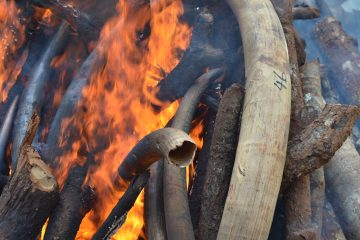 Ivory sales to remain banned rules wildlife summit