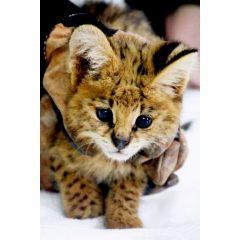 NEW ARRIVAL: SERVAL KITTEN