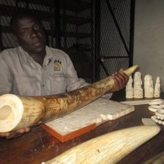 NEW CONSERVATION CAUCUS BACKS DESTRUCTION OF MALAWI'S IVORY STOCKPILES