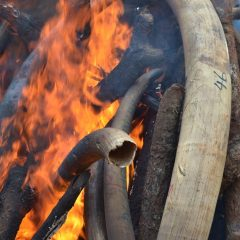 LANDMARK RULING ON IVORY A VICTORY FOR MALAWI'S WILDLIFE