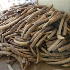 MALAWI IVORY TRAFFICKING CASES MOVE IN RIGHT DIRECTION
