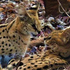 A SERVAL LOVE STORY