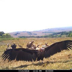 A SNEAK PEEK AT OUR VULTURE RESEARCH