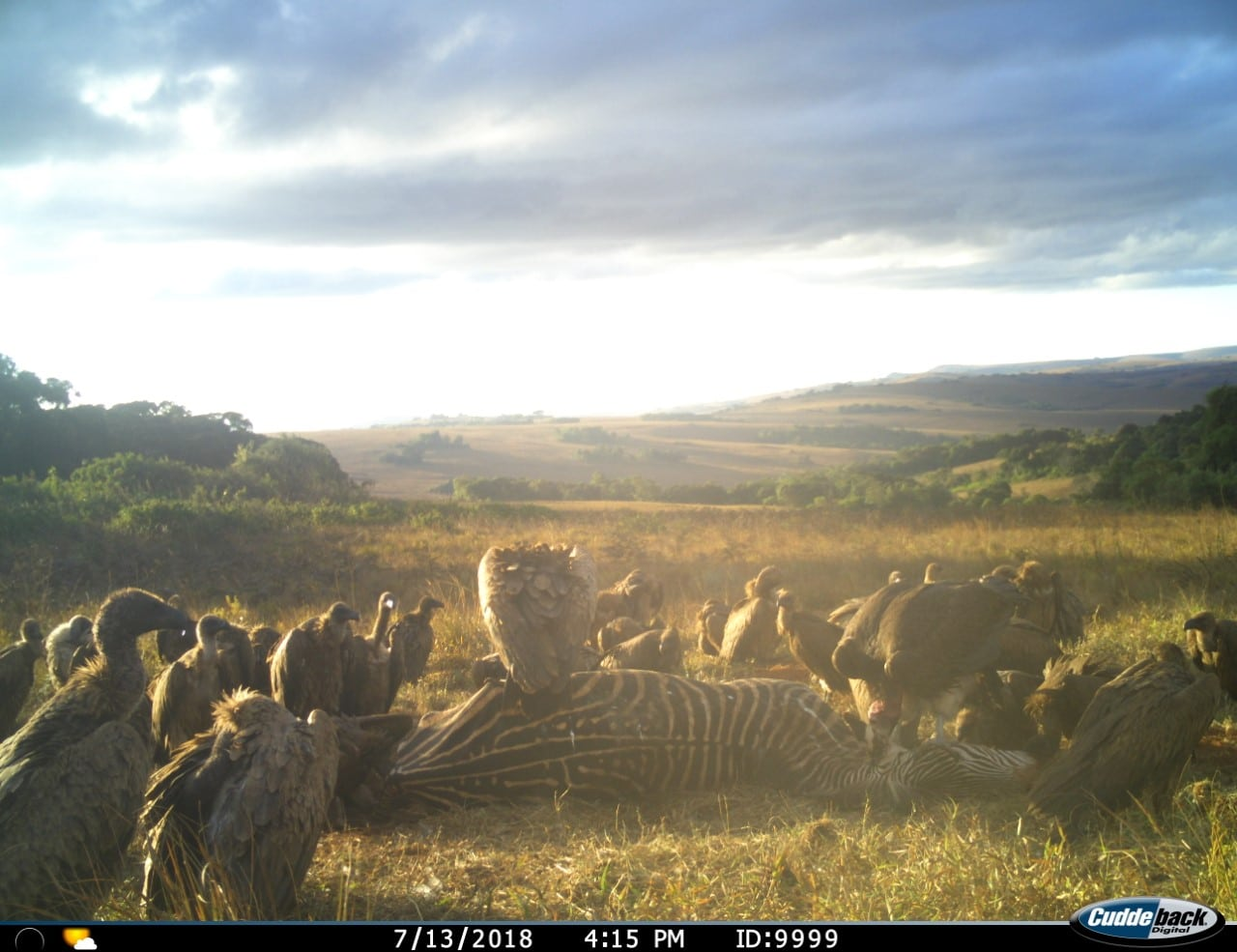 vulture research project camera trap
