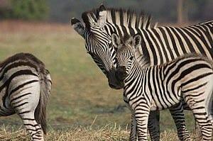 zebrasurvey1 (3)