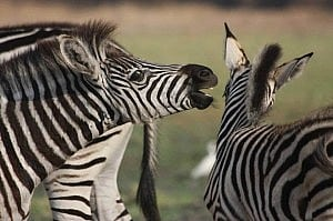 zebrasurvey1 (4)