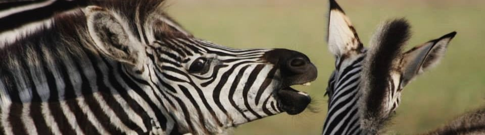 zebrasurvey1-4